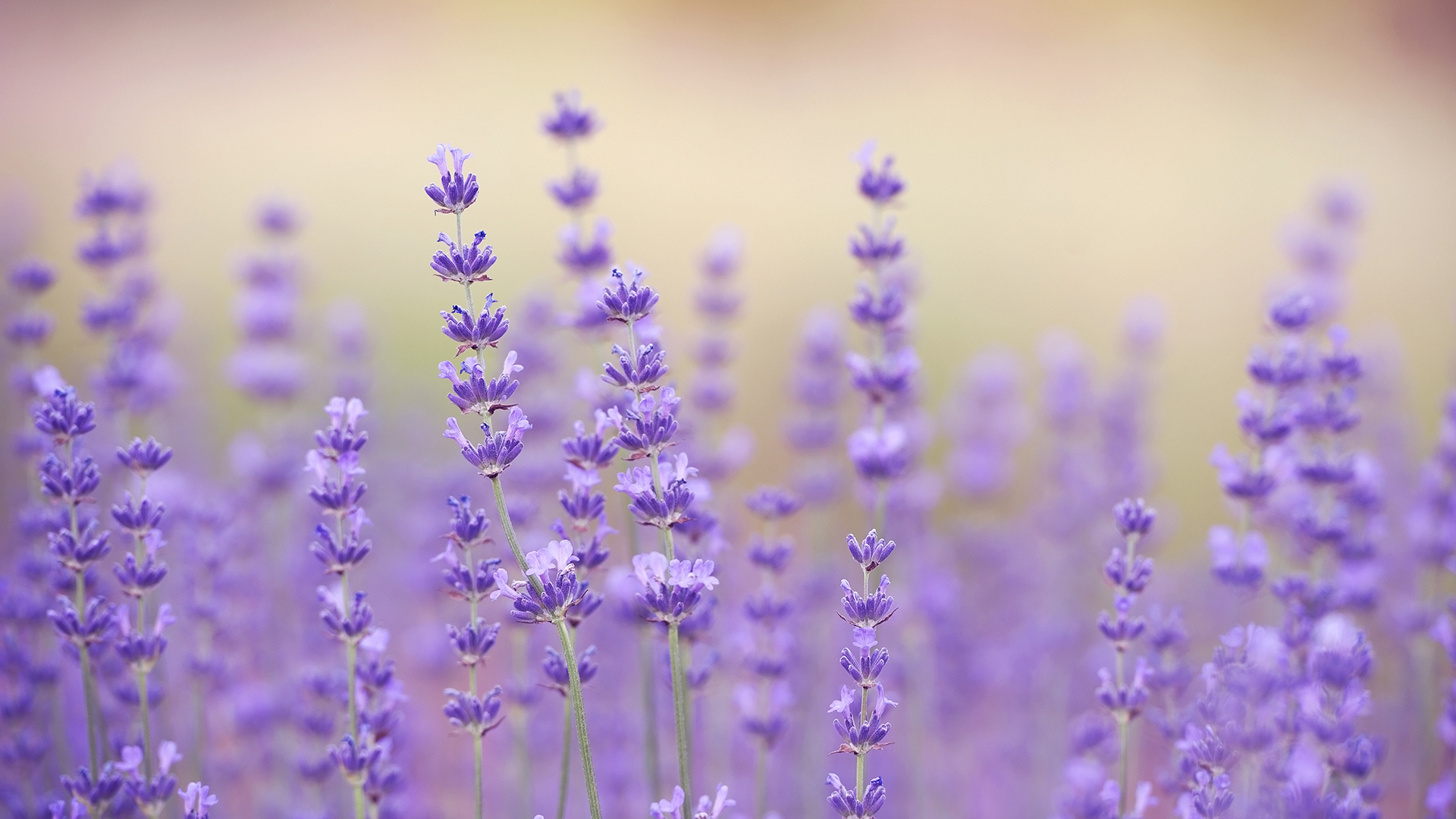 How To Grow Lavender Indoors And Outside How To Garden Advice